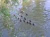 Petite famille de canards